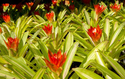 Цветки Bromeliad Стоковые Изображения RF