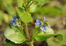 Цветки Brooklime Стоковые Фотографии RF