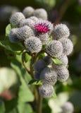 цветки burdock дают Стоковое Фото