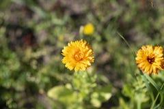 Цветки Calendula желтые стоковая фотография
