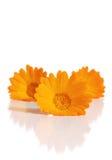 цветки calendula Стоковое Изображение RF
