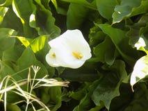 Цветки Calle Стоковые Фотографии RF
