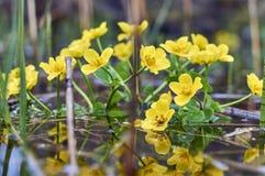 Цветки Caltha в водяной поверхности Стоковое Фото
