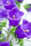 цветки campanula стоковые фото