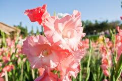 Цветки Canna в предпосылке bokeh Стоковые Фото