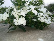 Цветки Catharanthus белые с зелеными листьями стоковая фотография rf