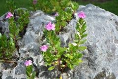 Цветки Catharanthus на утесах Стоковое Фото