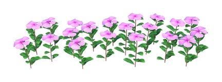 цветки Catharanthus перевода 3D на белизне стоковые фотографии rf
