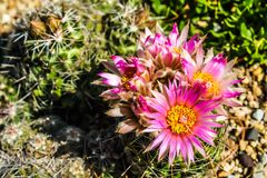 Цветки Catus Стоковое Изображение RF