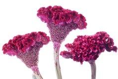 цветки celosia Стоковые Изображения