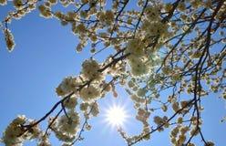 Цветки cerasifera сливы Стоковые Изображения RF