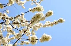 Цветки cerasifera сливы Стоковая Фотография RF