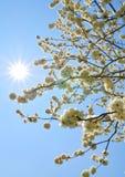 Цветки cerasifera сливы Стоковое Фото