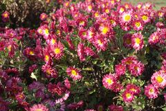 Цветки Cerise и белых похожие на маргаритк хризантемы Стоковое Изображение