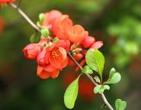Цветки Chaenomeles на ветви стоковое изображение