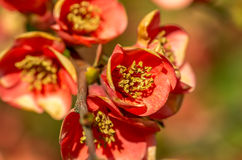 Цветки chaenomeles фото крупного плана Стоковая Фотография RF