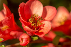 Цветки Chaenomeles Стоковые Изображения