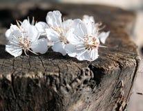 цветки chery Стоковое Изображение RF