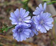 Цветки Chickory Стоковые Изображения