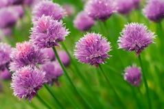 цветки chive стоковые фото