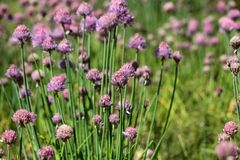 Цветки Chives Стоковая Фотография