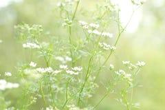 Цветки Cilantro Стоковые Изображения