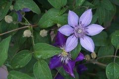 Цветки Clematis: Фиолетовая страсть и зеленая доброта стоковое фото rf