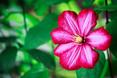 Цветки clematis Стоковое Фото