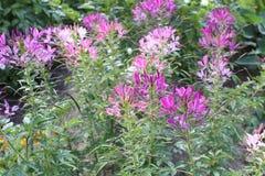 Цветки Cleome Стоковое Изображение RF