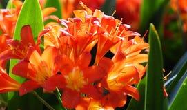 Цветки Clivia в цветени Стоковое Изображение