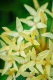 Цветки coccinea Ixora Стоковые Изображения