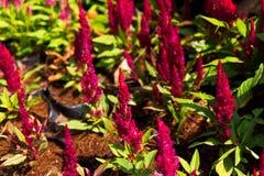 Цветки Cockscomb Стоковые Фотографии RF