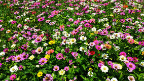 Цветки Colourfull Стоковая Фотография