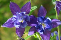 Цветки Columbine Стоковое фото RF