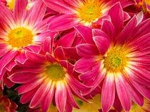Цветки. Cream gerbera. стоковое фото