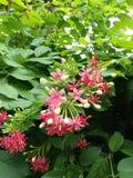 Цветки Creeper Рангуна стоковое фото rf