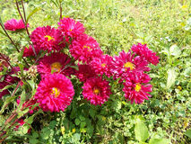 Цветки Crysanthemum, maroon розовое crysant Стоковая Фотография