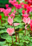 Цветки Cyclamen Стоковая Фотография