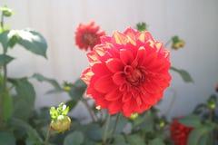 Цветки Dali Стоковое Фото