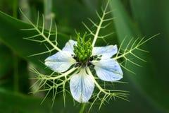 Цветки damascena Nigella голубые в саде Стоковое фото RF