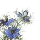 Цветки damascena Nigella Стоковые Изображения RF