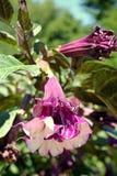 цветки datura изобилия Стоковое фото RF