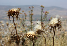 Цветки Deflorate thistle Стоковое фото RF