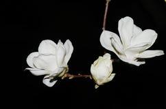 Цветки denudata магнолии Стоковые Фото
