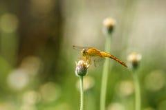 Цветки & dragonfly конца-вверх малые в луге стоковые фото