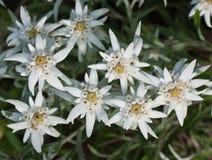 Цветки Edelweiss Стоковые Фото