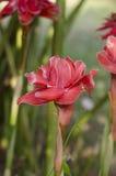Цветки elatior Etlingera Стоковая Фотография RF