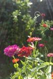 Цветки Elegans Zinnia стоковое фото rf