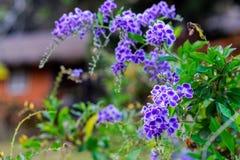 Цветки erecta Duranta в саде Стоковое Изображение