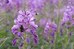 Цветки Fireweed с путают пчела Стоковая Фотография